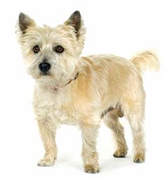 Cairn_Terrier_face